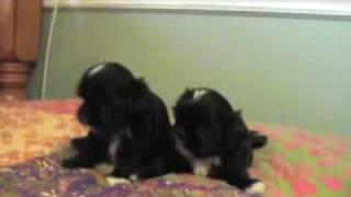 Imperial Shih Tzu Sisters, 5 Weeks Old