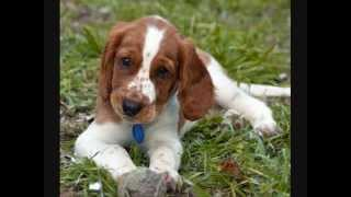 Все породы собак.Вельш спрингер спаниель (Welsh Springer Spaniel)
