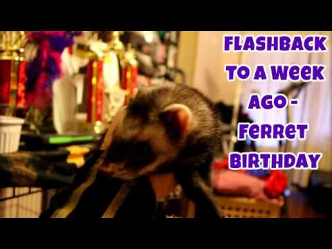 Flashback To A Week Ago: Ferret Birthday - Our Other Adorable Pets 2 - VOL. 22
