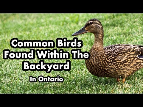 Wild Birds Found In My Backyard - Ontario Canada - Part 3 - Bird Sounds