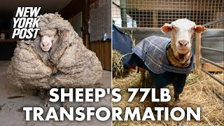 'He could barely see': Sheep saved from 77 pounds of matted fleece | New York Post