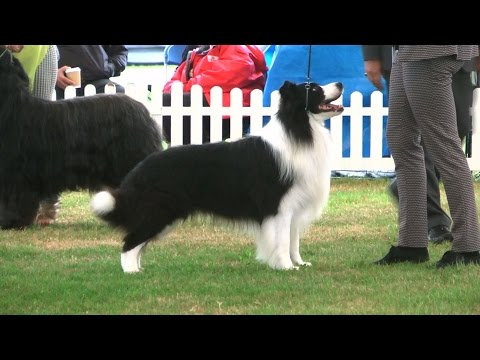 Richmond Dog Show 2016 - Pastoral group FULL