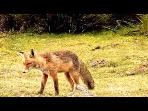 Fauna Salvaje. El Zorro