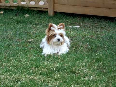 Artistically Bred Golddust Yorkshire Terrier Heaven Sent Youtube