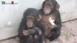 Gambar cover WapWon Tv Funny Monkey Videos A Funny Monkeys Compilation 2015