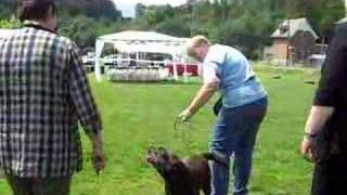 2nd Belgian Labrador Retriever Club Show Blacksugar Fahra