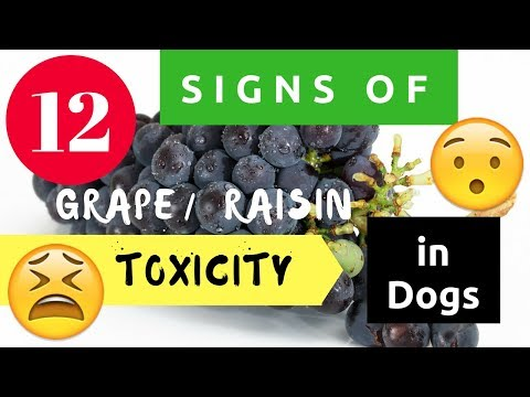12 Signs Of Grape / Raisin Toxicity In Dogs