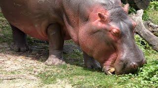 Hippo Grazing UHD 4K FYV