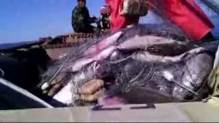 Сезонный промысловый лов кеты в Амуре(Для блога http://nature-pict-and-sound.com - Первая часть видео рассказов о том, как добывают красную рыбу и красную икру., 2013-10-20T18:26:32.000Z)