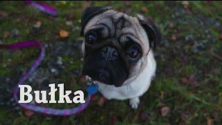 Dog tricks amazing pug