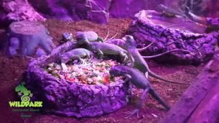 WildPark Vialand'de Yavru İguanalarımızın Beslenme Zamanı :)