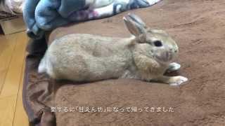 【天使】旅行中にわが家のウサギが超甘えん坊になっていた