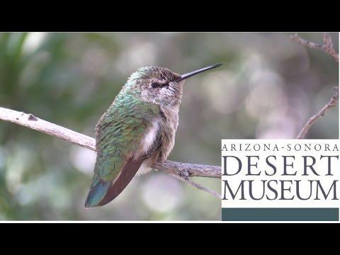 Incredible Hummingbird Aviary! - Arizona Sonora Desert Museum - Vlog 24