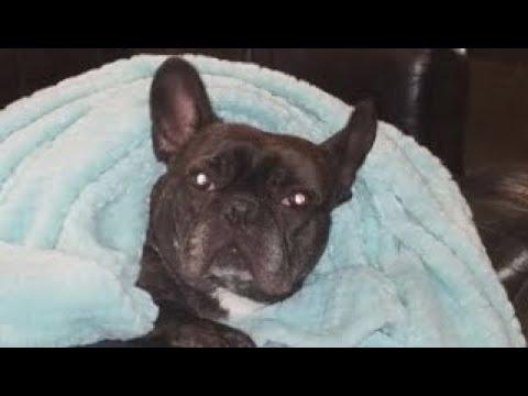 Diy How To Make A Dog Diaper French Bulldog Friendly Youtube