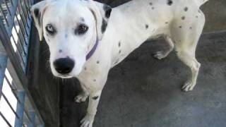 Scooter (a270219) Friendly Dalmatian At Pasadena Humane