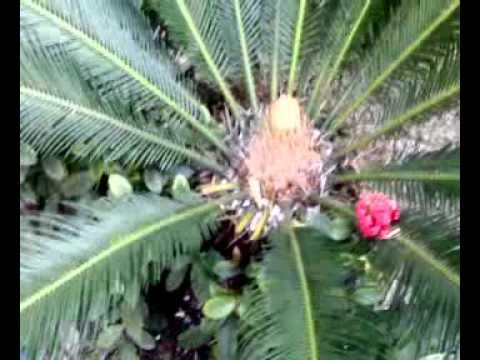 Cicadofitas
