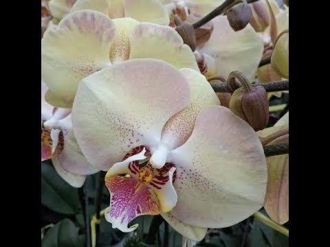 Орхидеи: Мандала(Phalaenopsis Mandala) моя давняя хотелка!