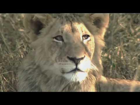 The Lion King of Africa . Full Documentary