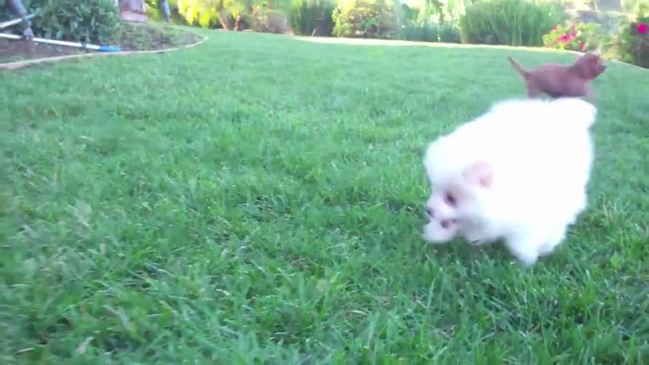 White Pomeranian, Cavalier King & Yorkie Puppies for Sale in San Diego  California!