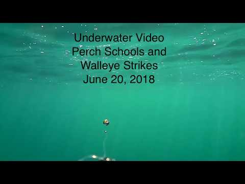 Underwater Perch Schools And Walleye Strikes