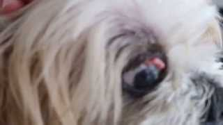 The 11-year-old Shih Tzu Has Conjunctival Tumours, Dry Eyes And Blood In The Urine