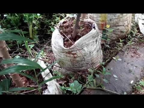 TAPIOCA  GROWING  IN PLASTIC BAGS