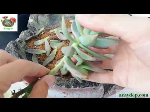 Chăm sóc cây: Phần 1- Cách nhân giống sen đá từ lá đơn giản nhất. (Propagate succulents from leave)
