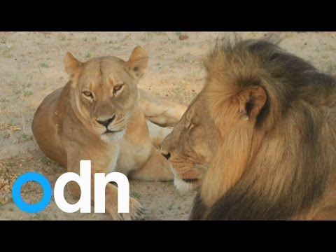 CECIL: Zimbabwe restricts hunting