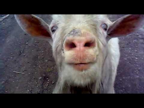 фото козы прикольные