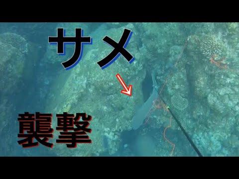 【衝撃】魚突きしてたらサメに襲われました…【解説実況付き】【シャークアタック】