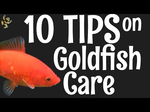 Goldfish Care: 10 Things You Should Know