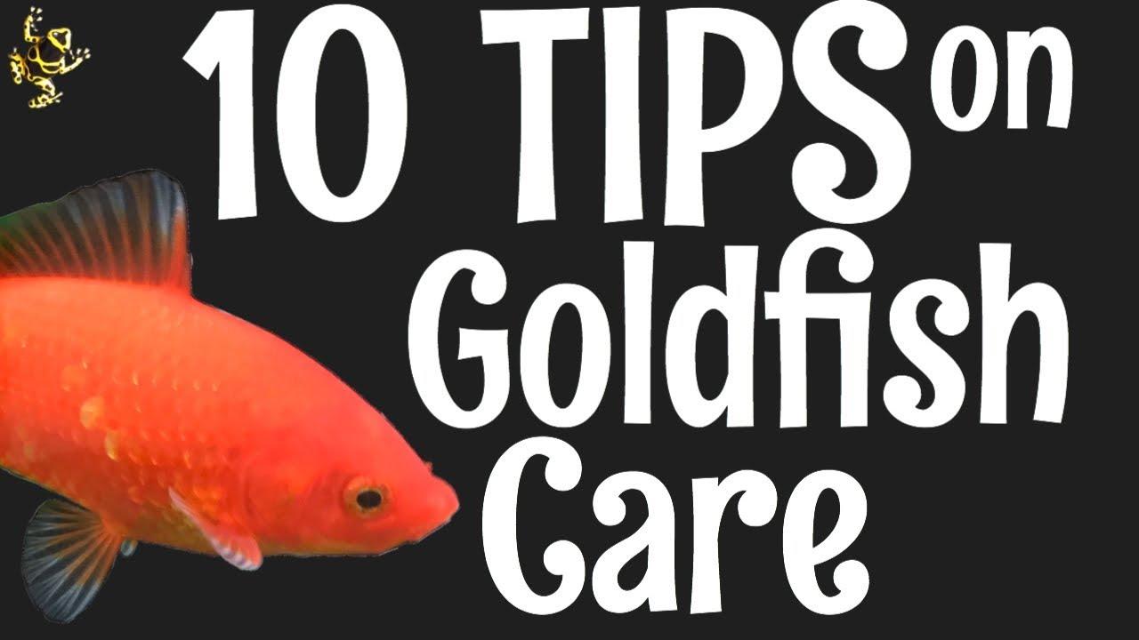 video Goldfish (for Aquarium | Fish Tanks)