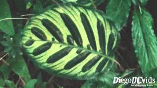 Calathea Makoyana - peacock plant - cathedral windows (Marantaceae)(Calathea Makoyana - Maranta-pavão - Calatéia-pena-de-pavão - peacock plant - cathedral windows (Zingiberales - Marantaceae) Biodiversidade, Biodiversity, ..., 2016-04-07T21:51:31.000Z)