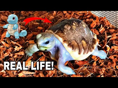 WORLDS FIRST SCALELESS TORTOISE! ONE in a MILLION!