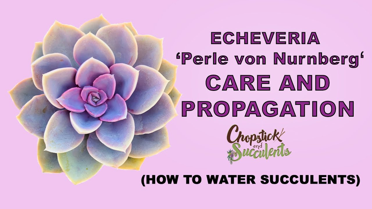Echeveria Perle Von Nurnberg Care And Propagation How To Water