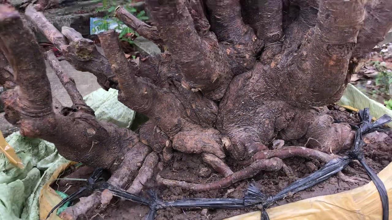 Phần 1; Hướng dẫn cách trộn Vỏ Lạc với Đất để trồng cây Mẫu Đơn.