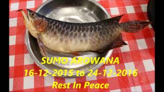 LIOW VIDEO: Sumo Arowana Memorial Video 哀悼龙鱼短片