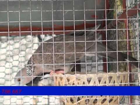 Mô hình nuôi chim Cu Gáy đẻ thành công tại Hà Nam