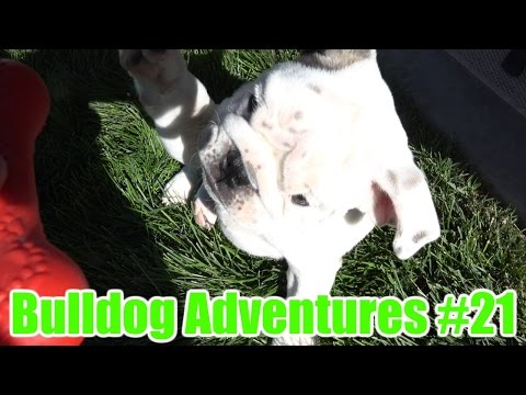Bulldog Adventures #21 - It's back with new Members!