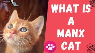 What is a Manx Cat? | Size of Manx Cat | Life Expectancy of Manx Cat |