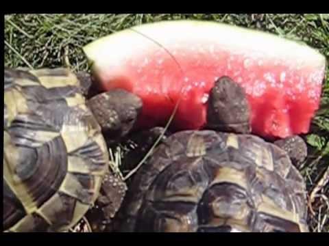 Meerschweinchen klaut den Schildkröten die leckere Wassermelone ;(