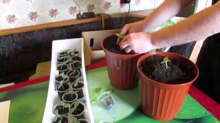Выращивание огурцов на подоконнике. Проверенный метод.(Проверенный метод выращивания огурцов на подоконнике. Выращиваем прямо с семян. Горящие Товары на Алиэксп..., 2015-05-07T14:25:37.000Z)