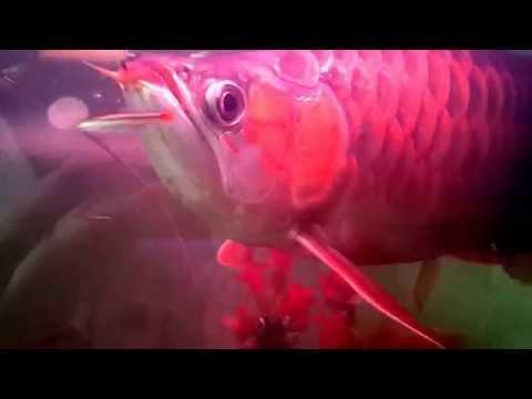 ปลามังกรแดงพาฝัน โซซีซัน บังแระ