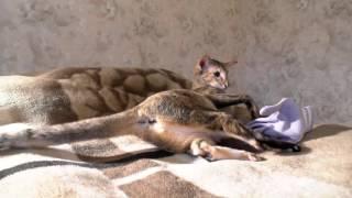 Ориентальная кошка КоКо против перчатки