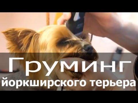 Как подстричь челку йорку видео
