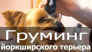 Груминг йоркширского терьера (йорка, йорика) - стрижка, тримминг,(Секреты домашнего груминга http://blog.thezoo.ru/ Груминг йокширского терьера (йорка, йорика) Собака вычесана, помыт..., 2013-06-10T16:11:57.000Z)