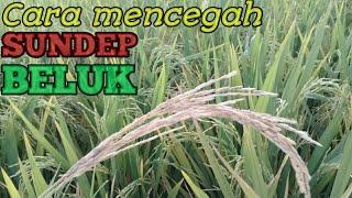 Download lagu Cara mencegah ulat penggerek batang, beluk atau sundep pada tanaman padi