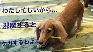 モモさんは本当に賢いですよね〜(≧∀≦) ガムの場合は食べるの時間かかる...