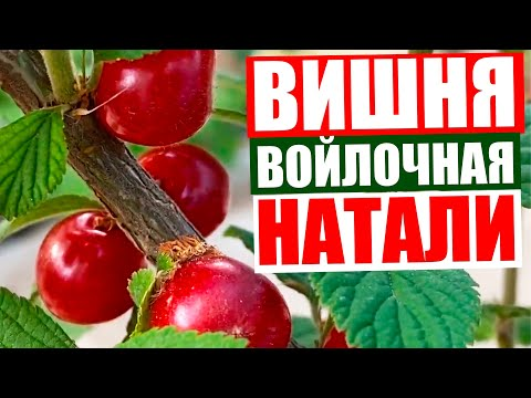 Вишня войлочная Натали// Очень красивое видео о плодах войлочной вишни// Войлочная вишня уход.