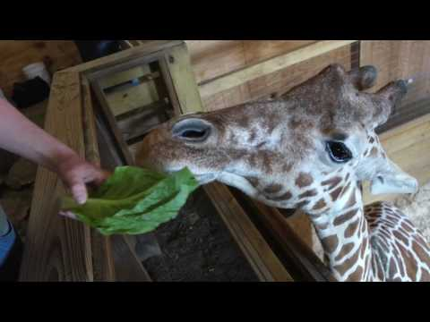 Thumbnail: April the giraffe still in waiting at Animal Adventure Park in Harpursville